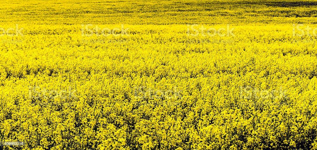 Rape Field Cheshire stock photo