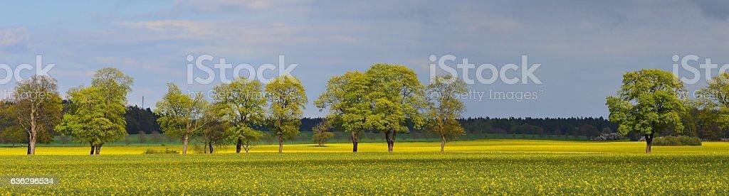Rape field in full bloom stock photo