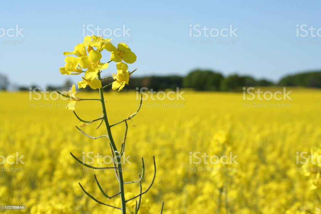 Rape field in may royalty-free stock photo