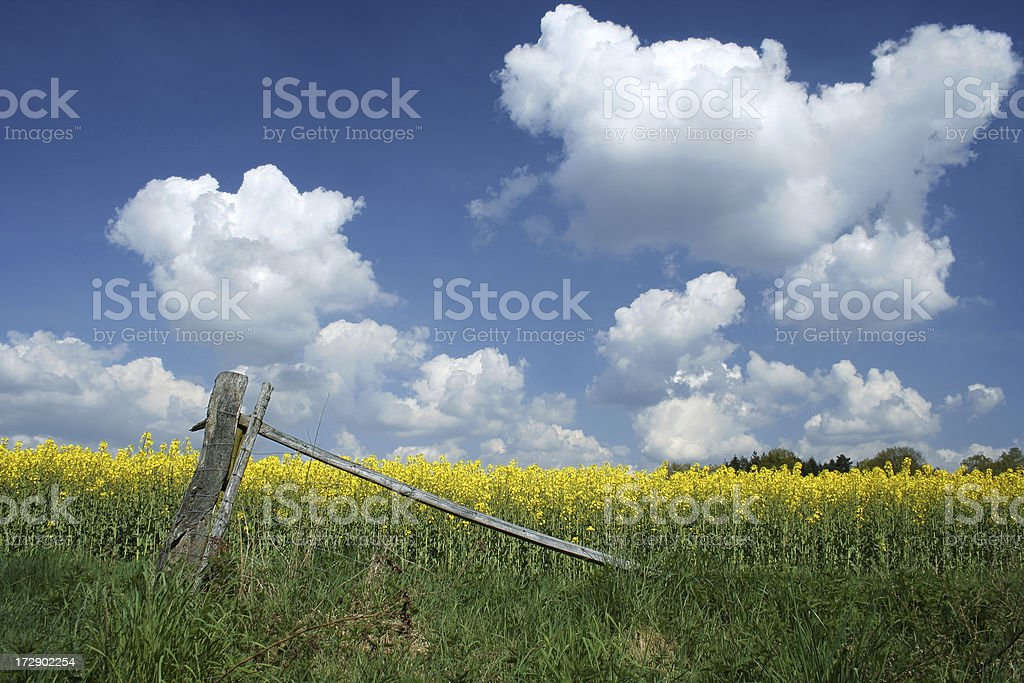 Rape field in may royalty-free stock photo