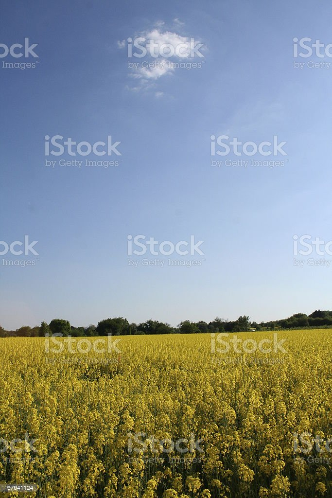 rape field in the evening royalty-free stock photo
