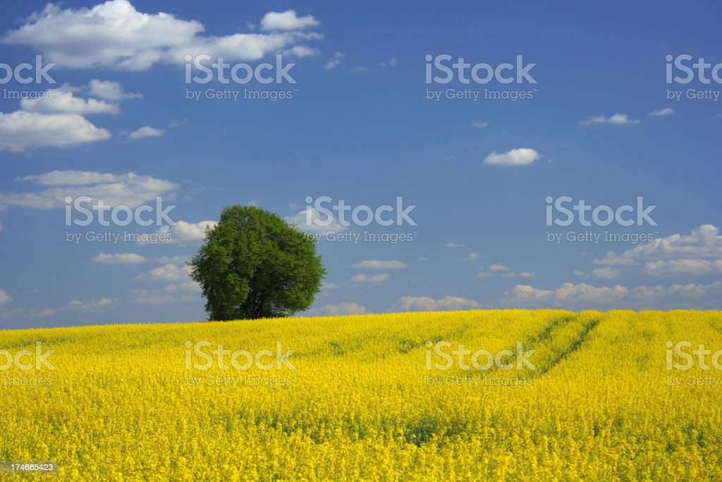 Rape field panorama royalty-free stock photo
