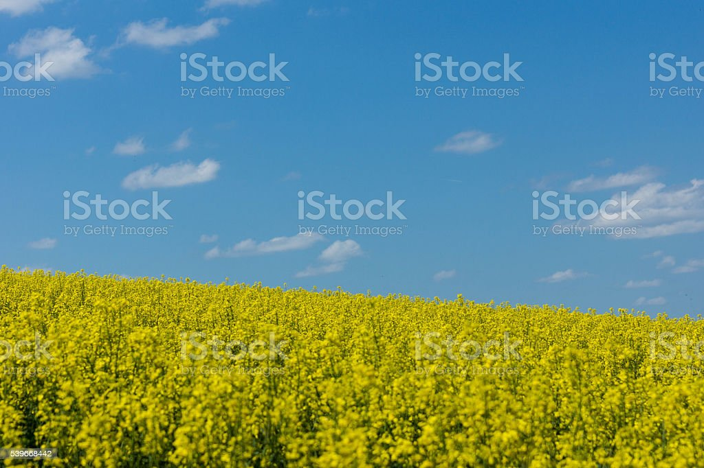 Rape field stock photo