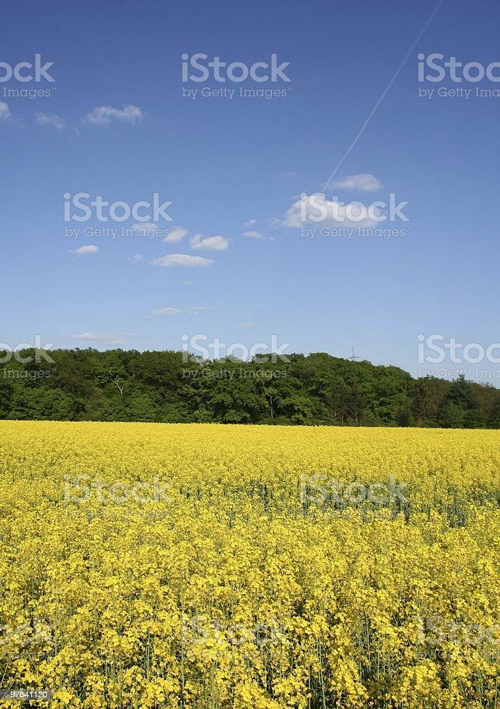 rape field royalty-free stock photo