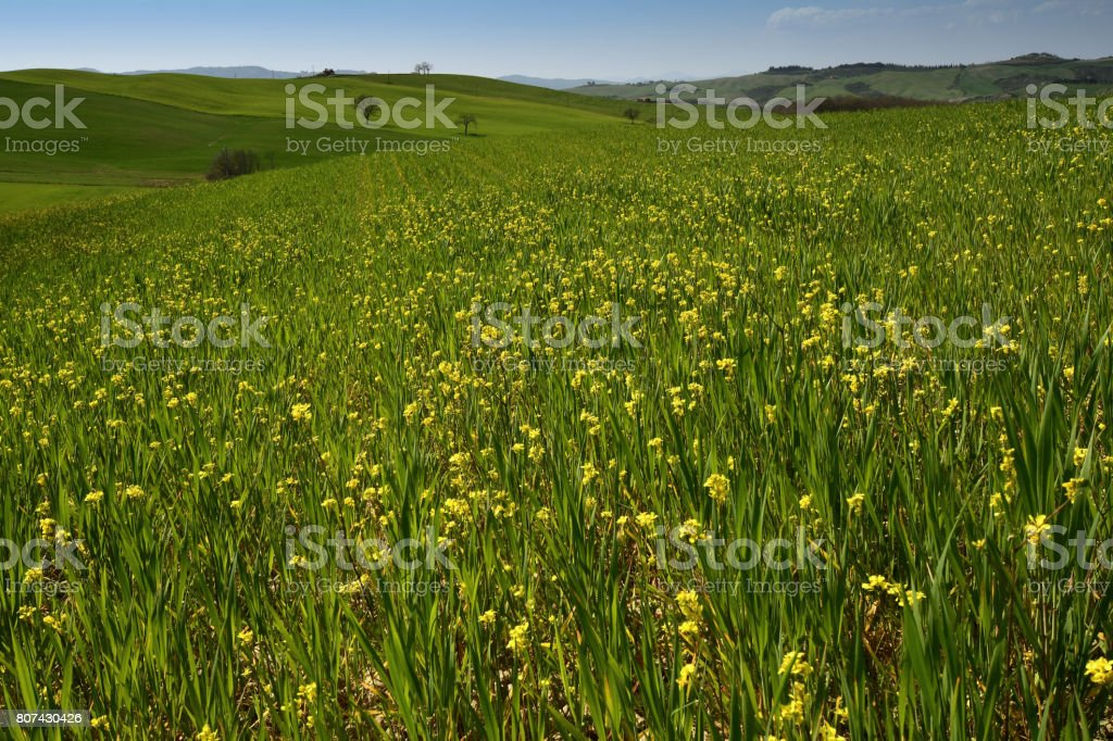 Rape field. Tuscan landscape, panorama view of the green rolling hills in val'd'orcia, near Pienza, Siena. Tuscany, Italy. stock photo