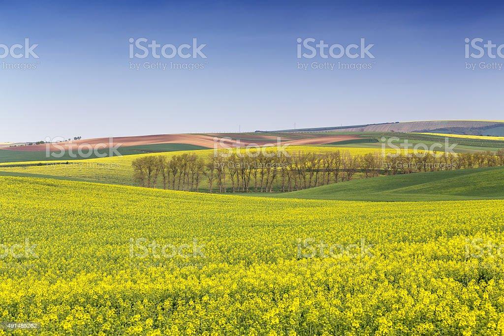 Rape field waves, South Moravia stock photo