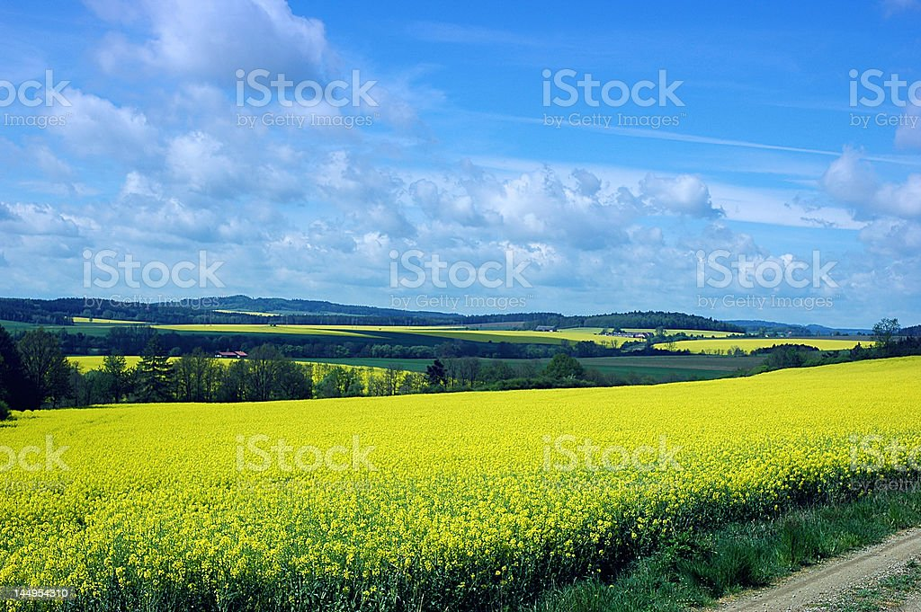 Rape fields scenery royalty-free stock photo