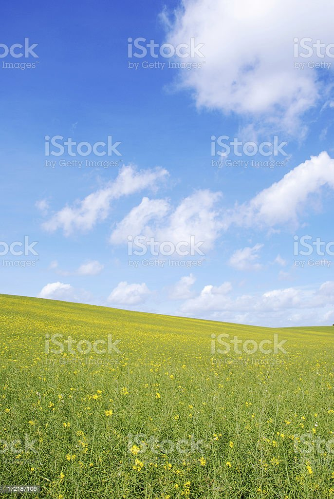 Rape fields with blue sky and fluffy clouds royalty-free stock photo