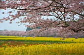 Rape flower and cherry tree in Nishi-kyuhara