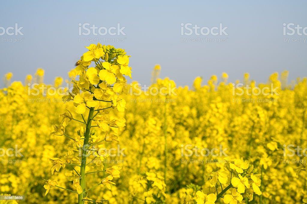 rape flower field stock photo