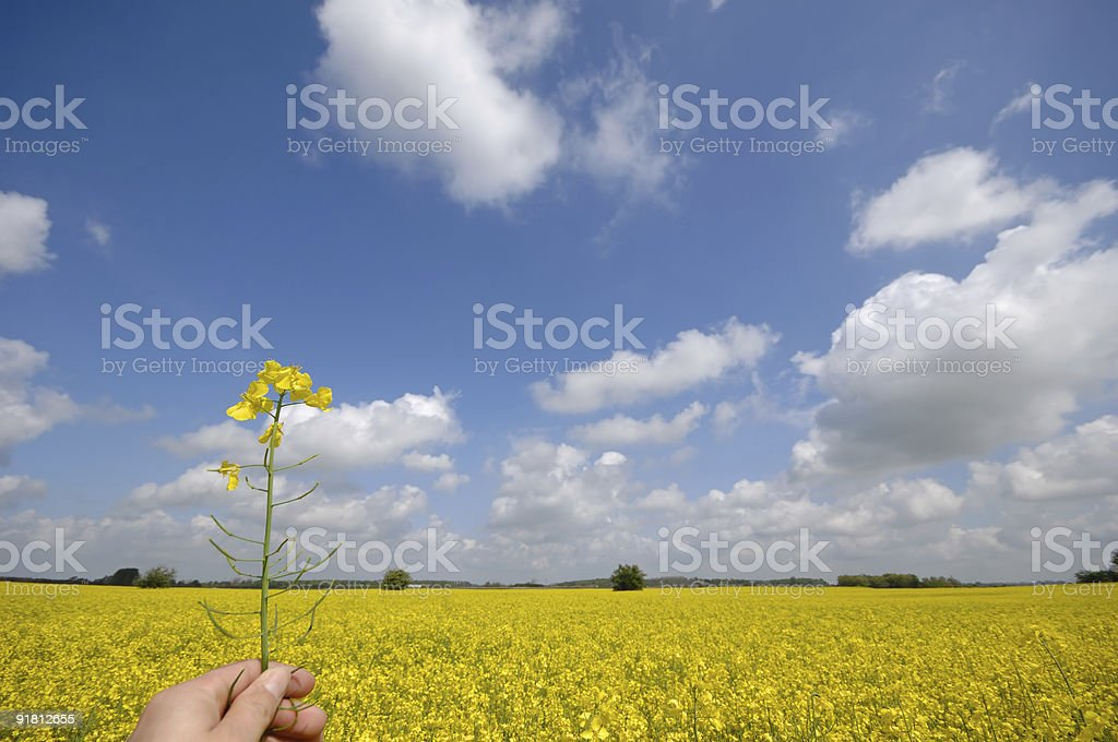 Rape flower in hand royalty-free stock photo