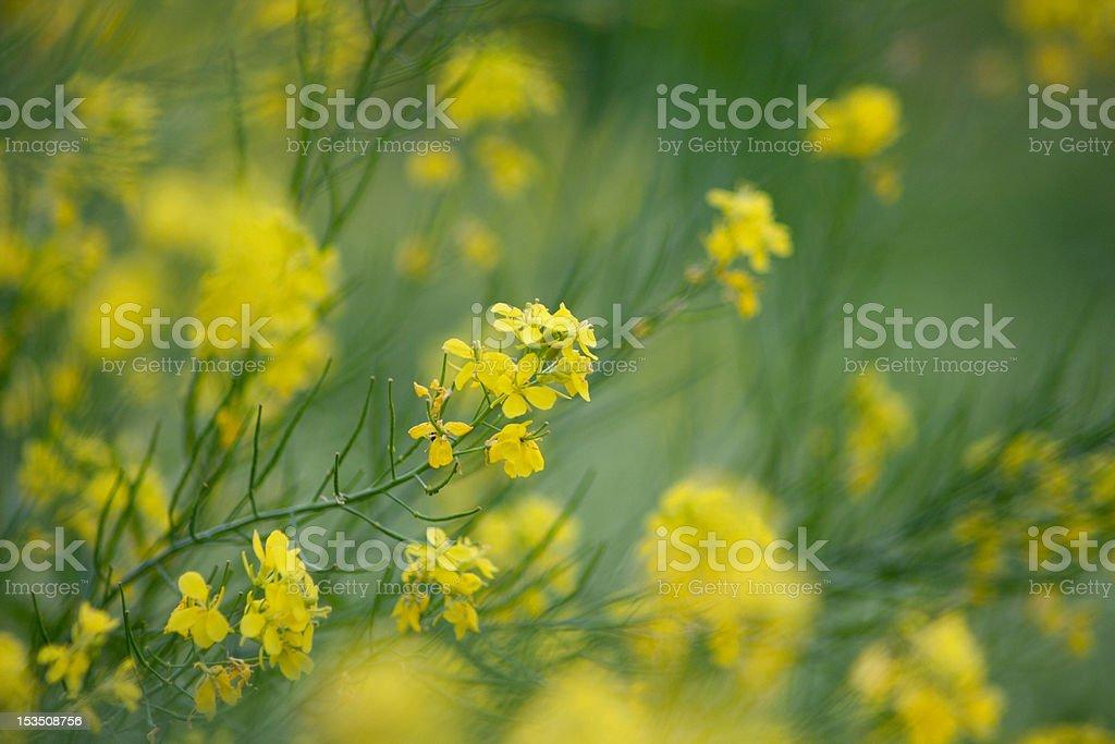 rape  flower royalty-free stock photo