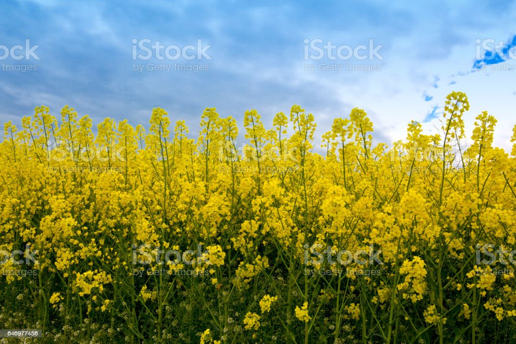 Rape flowers and gray clouds stock photo