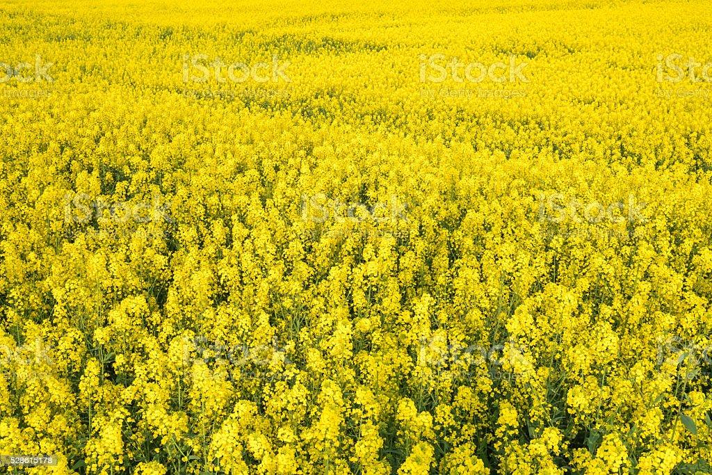 rape flowers field stock photo