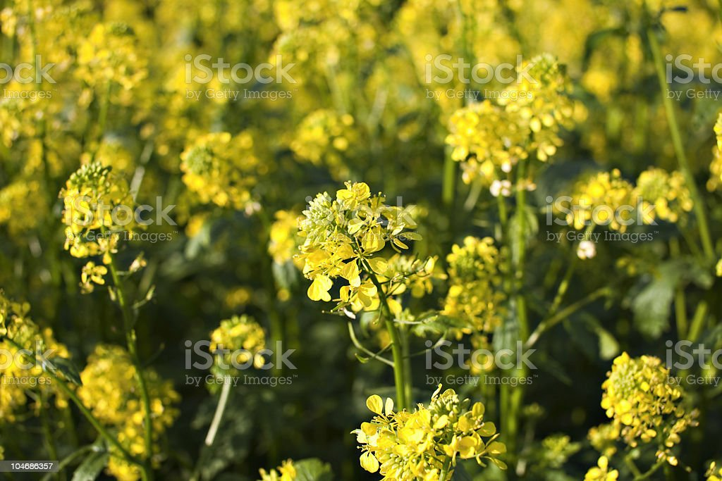 Rape plant and field royalty-free stock photo