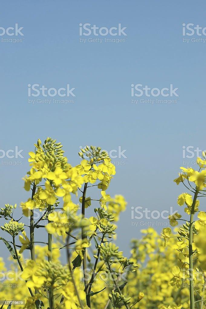 Rape plants in flower royalty-free stock photo