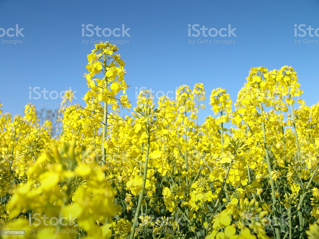 Rape Seed Crop royalty-free stock photo