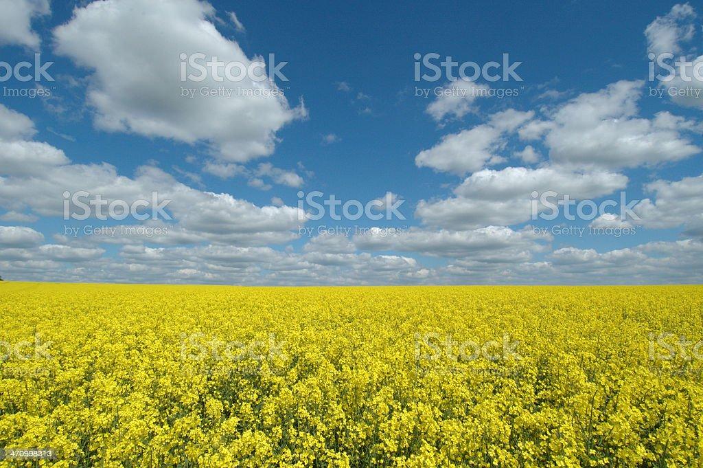 Rape seed field royalty-free stock photo
