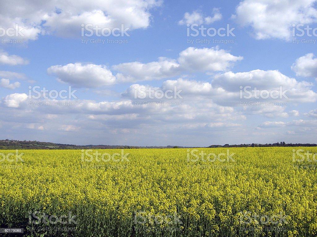 Rape Seed Field stock photo