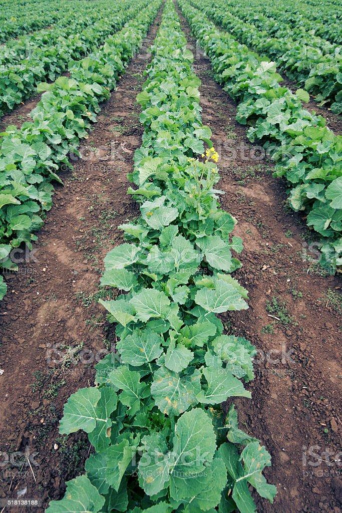 Rape seedling field stock photo
