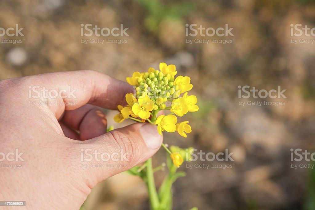 rapeflower royalty-free stock photo