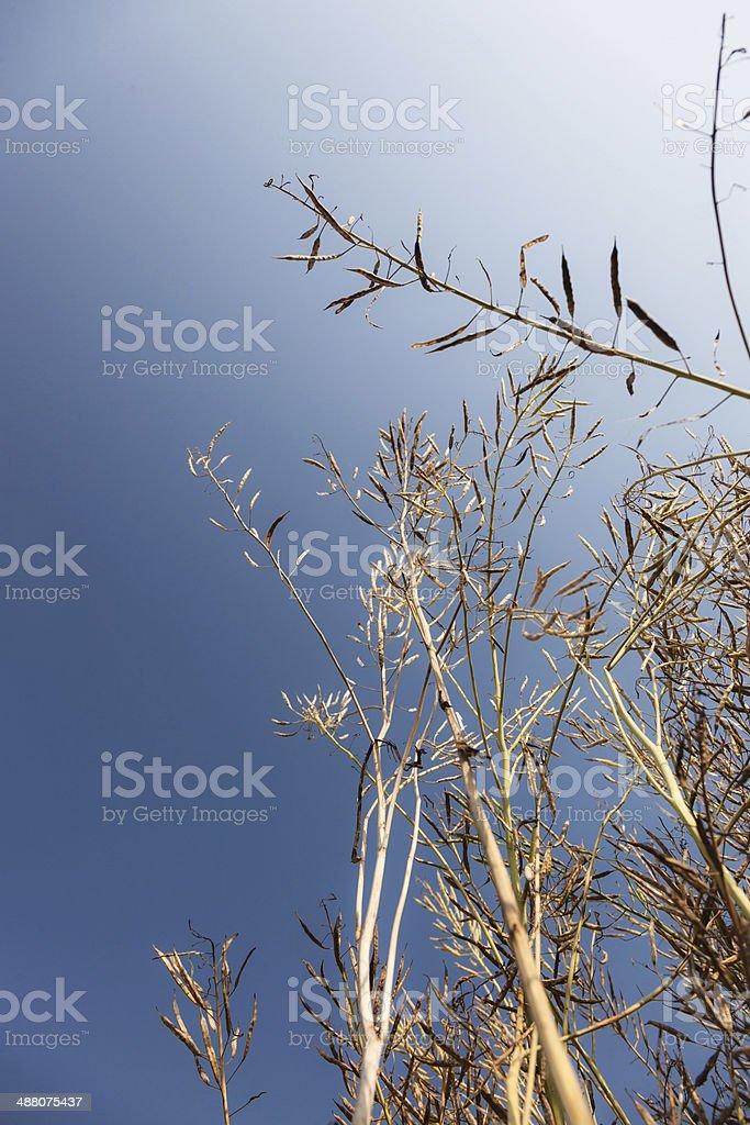 rapeflower seed pod royalty-free stock photo