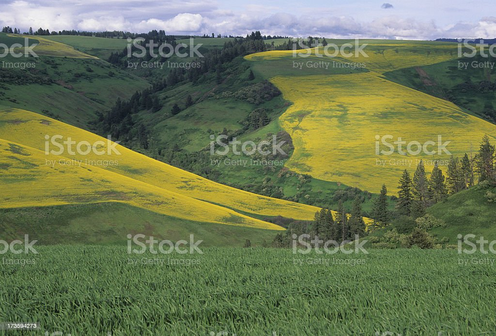 Rapeseed and wheat stock photo
