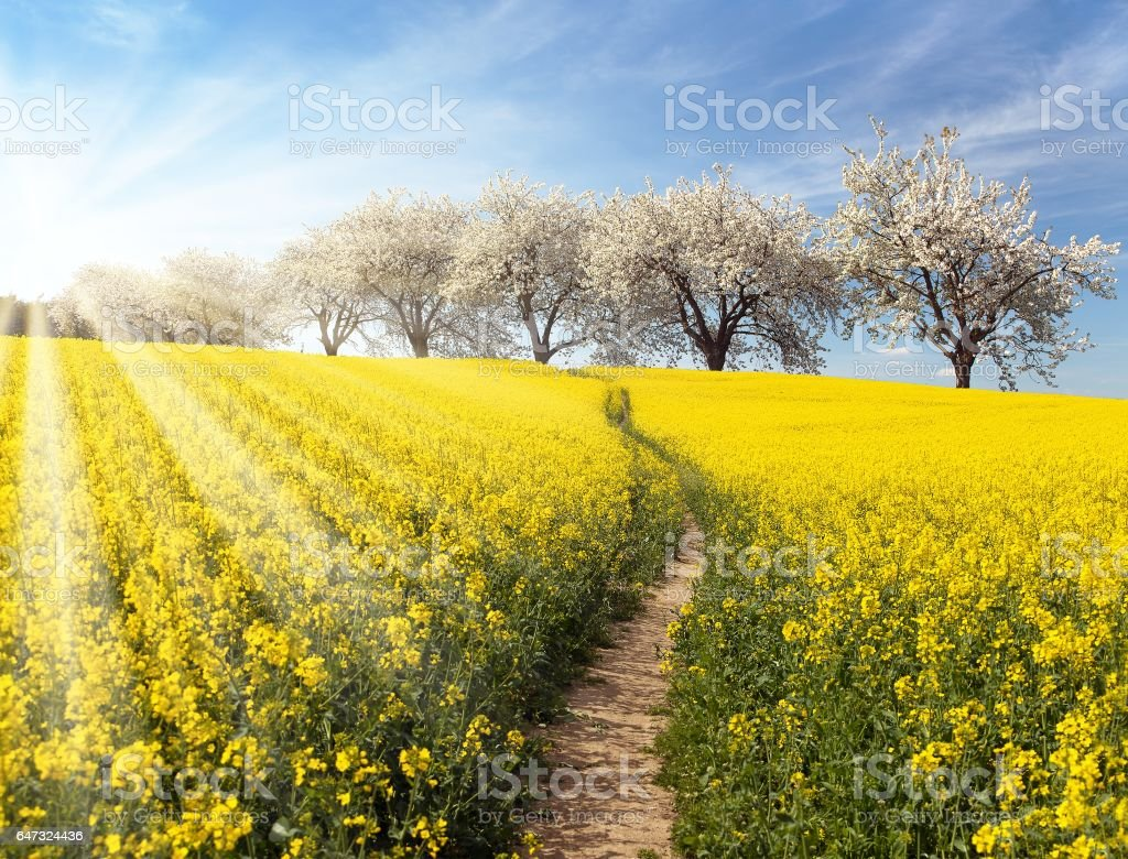 Rapeseed, canola or colza field stock photo