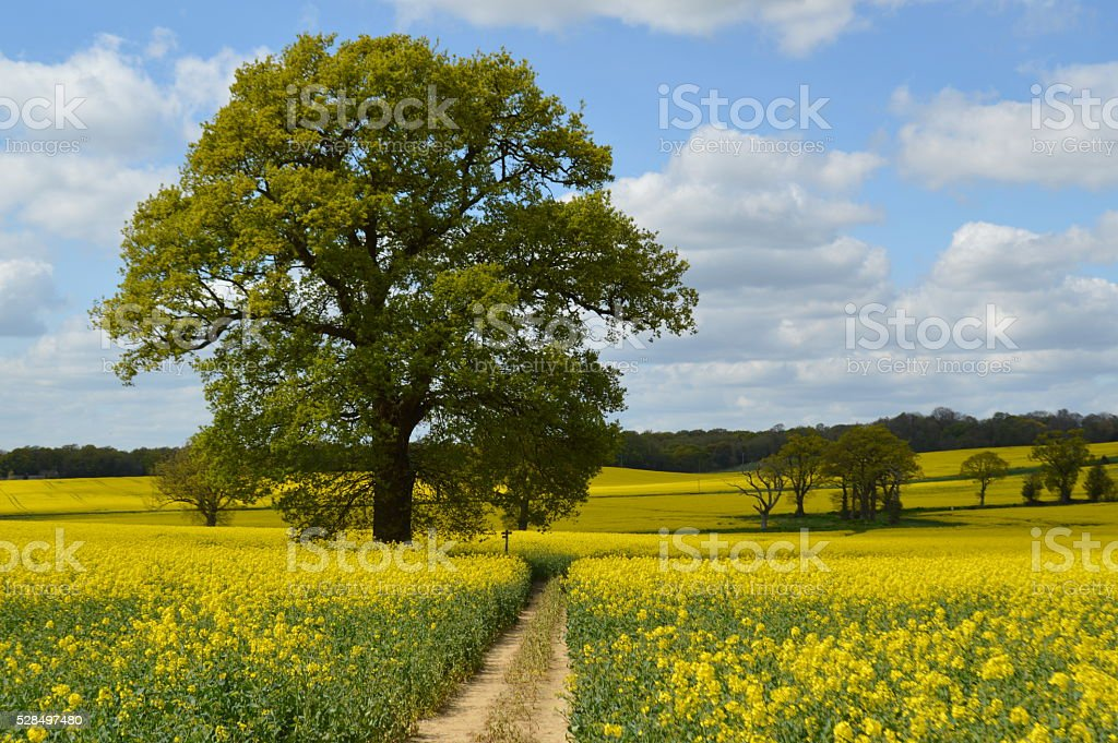 Rapeseed crop field in rural West Sussex. stock photo
