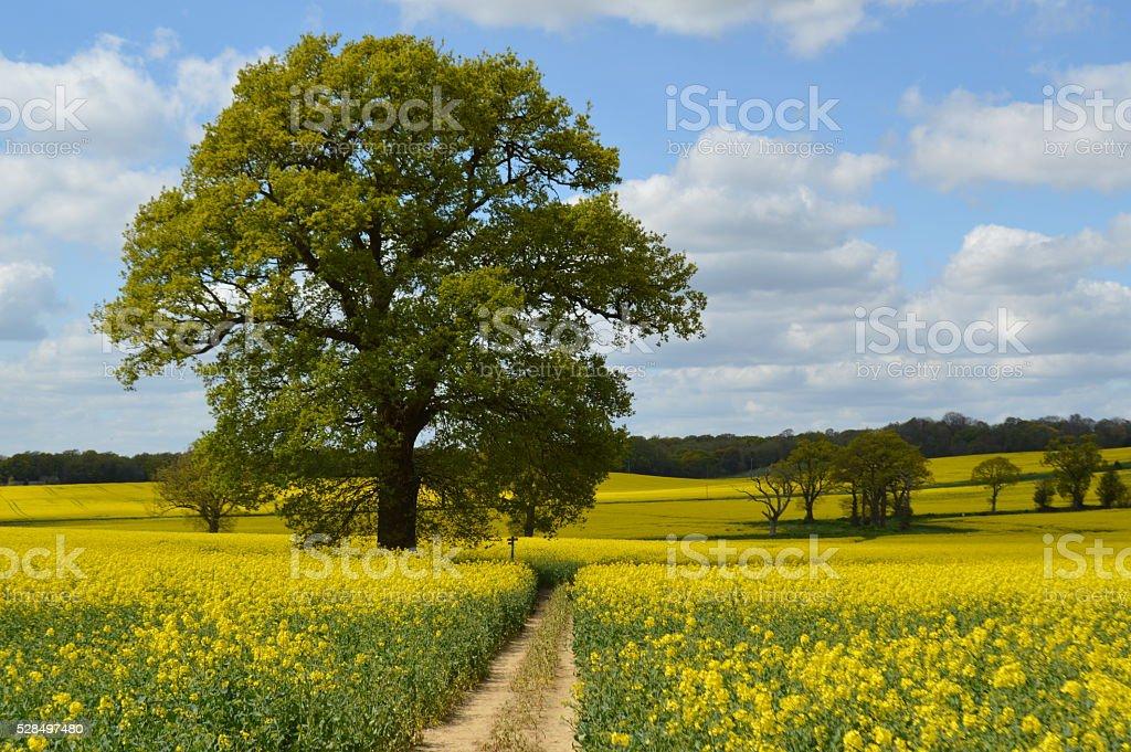 Rapeseed crop field in rural West Sussex. stock photo