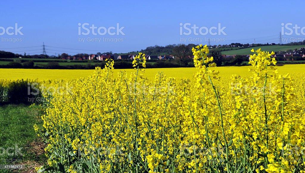 Rapeseed crop stock photo