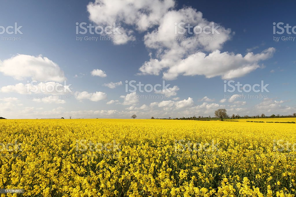 Rapeseed Field and Sky stock photo