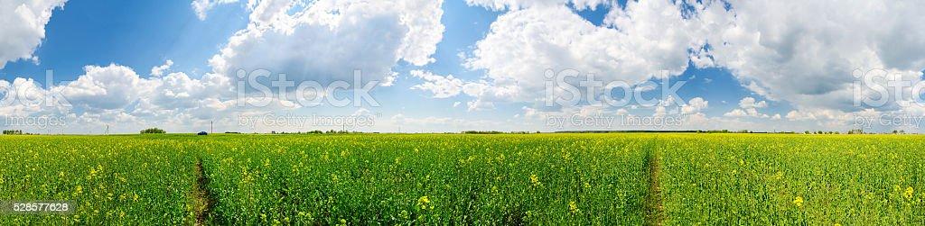 Rapeseed field in Belarus stock photo