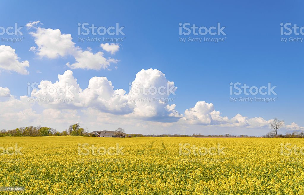 Rapeseed field in Sweden with blue sky and clouds stock photo