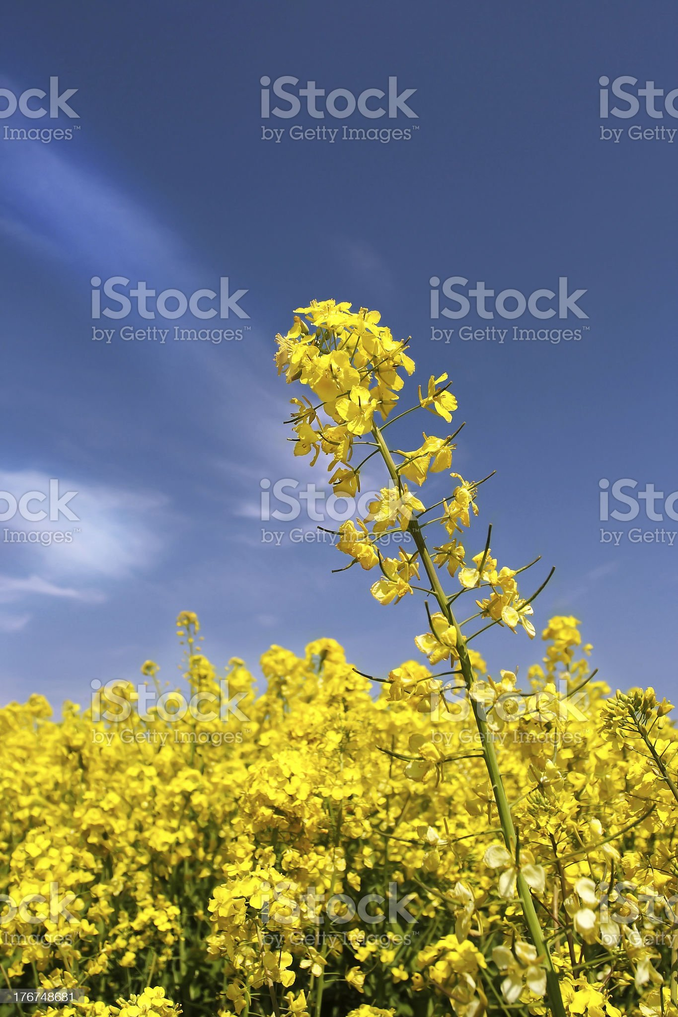 Colza field royalty-free stock photo