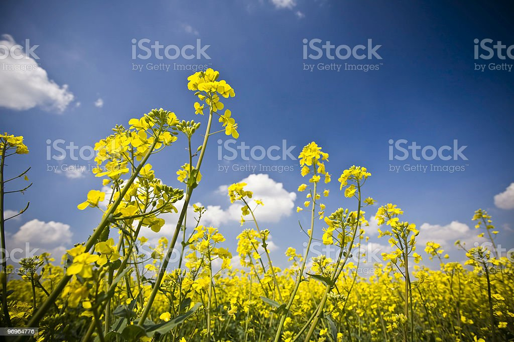 Rapeseed field royalty-free stock photo