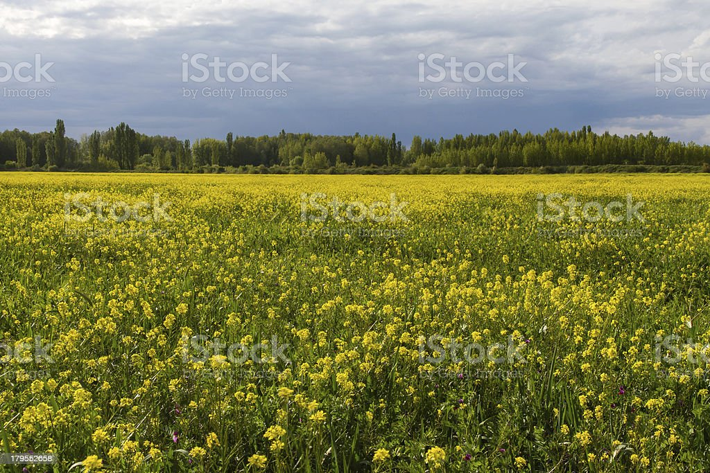 Rapeseed Field Planting - Campo de colza stock photo