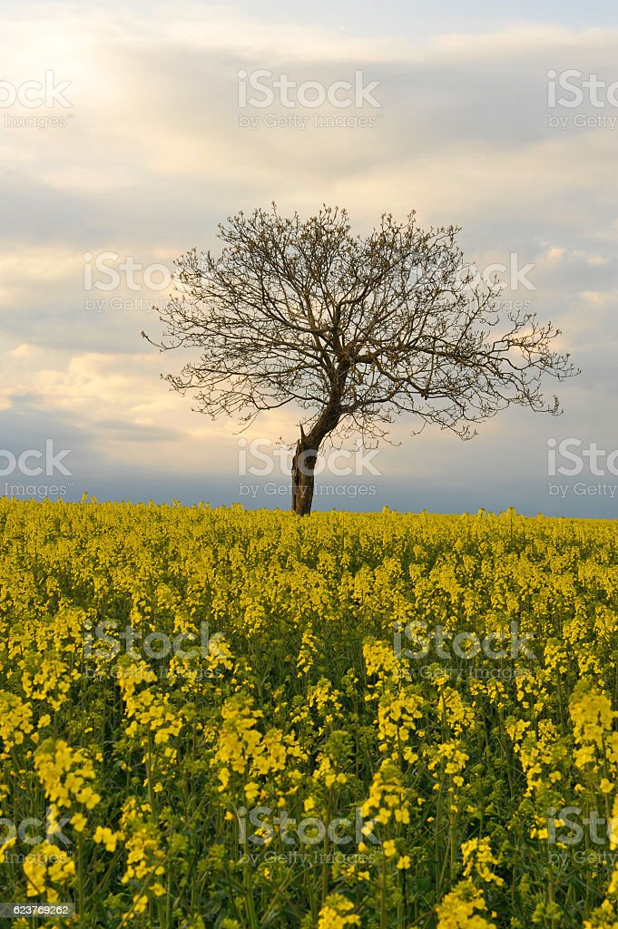 Rapeseed field with a lonely tree stock photo