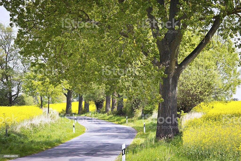 Rapeseed Field with Rural Street stock photo