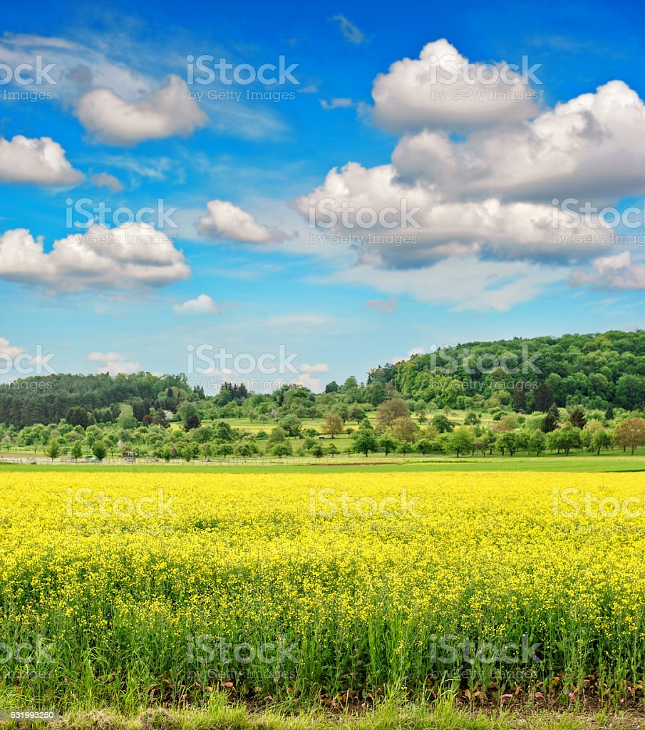 Rapeseed field withcloudy blue sky. Spring landscape stock photo
