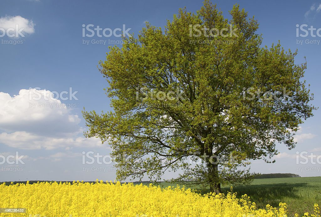 Rapeseed field-Nature stock photo