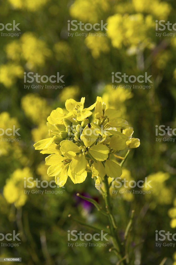 Rapeseed Flower - Flor de Colza stock photo
