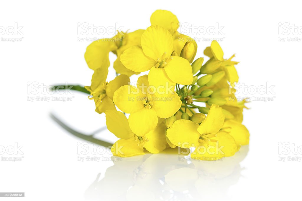 Rapeseed Flower royalty-free stock photo