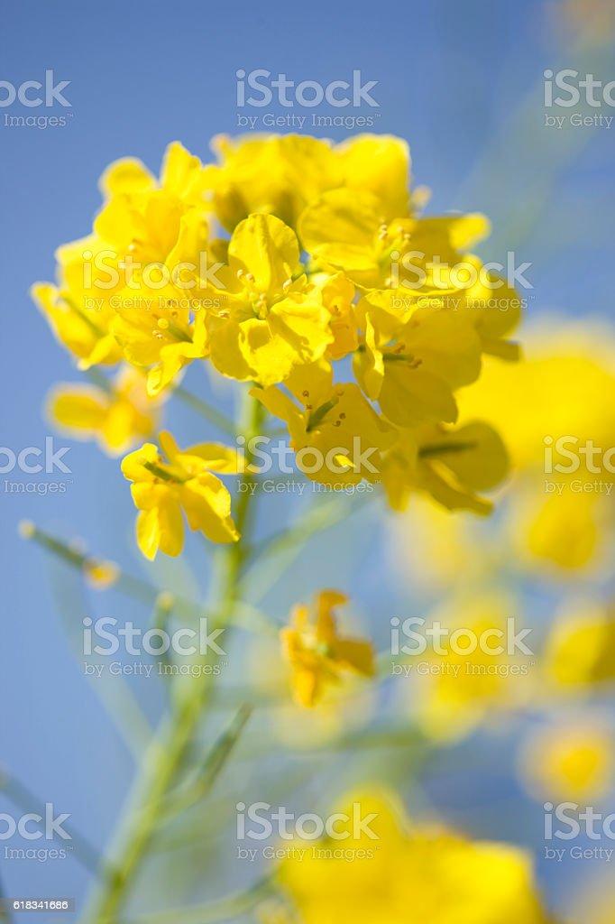 Rapeseed Flowers Blooming stock photo