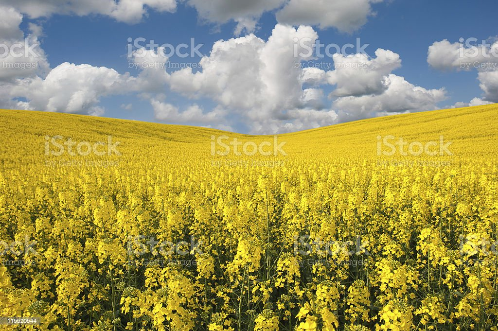 rapeseed flowers royalty-free stock photo