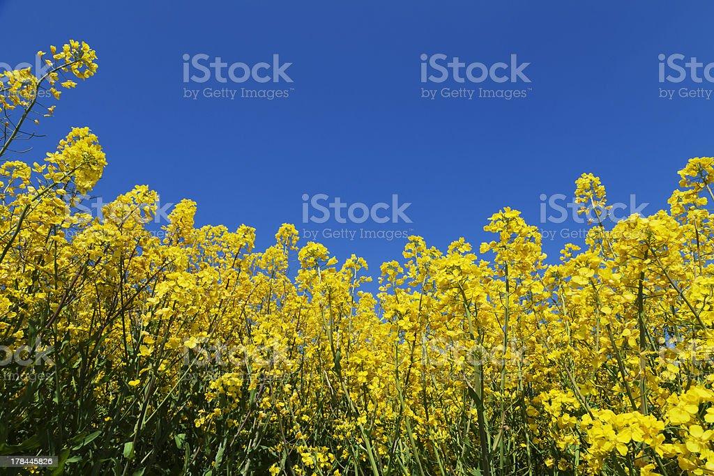 rapeseed flowers stock photo