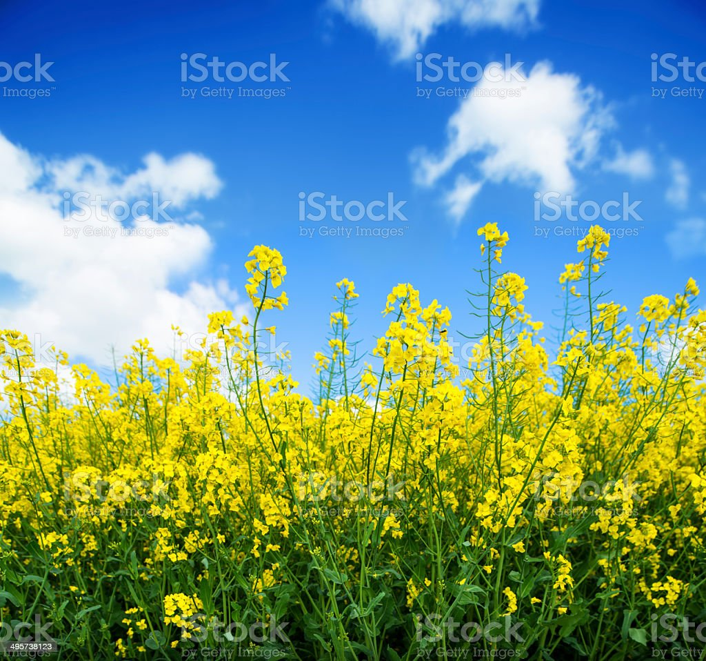 Rapeseed from side perspective (XXXLarge) stock photo