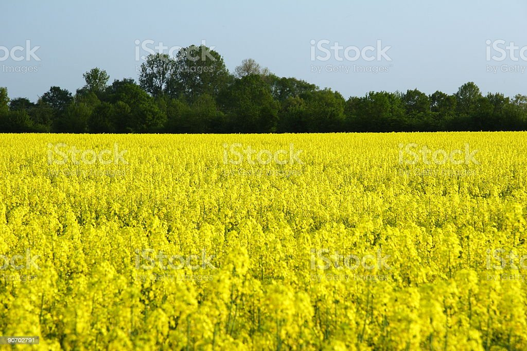 rapeseed in germany royalty-free stock photo