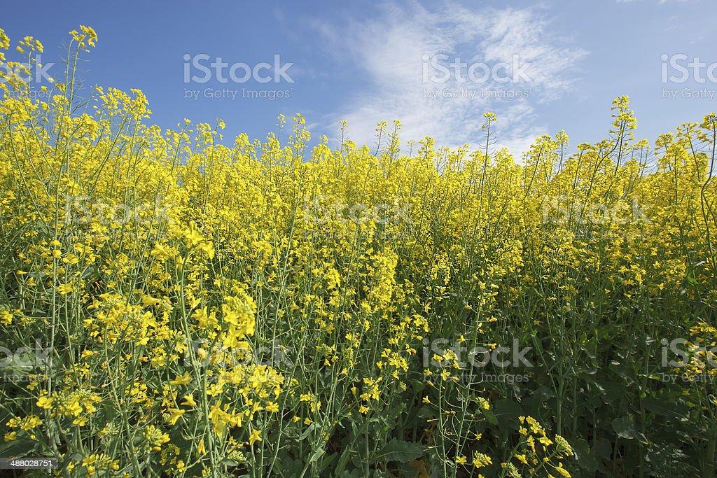 Rapeseed.  Oilseed Rape royalty-free stock photo