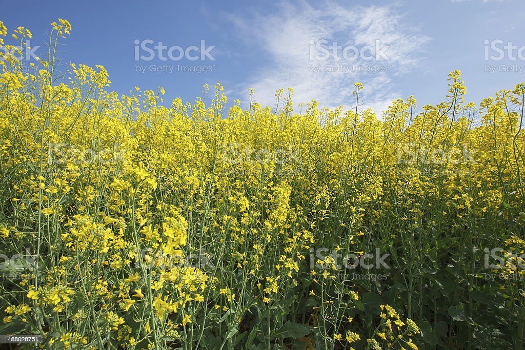 Rapeseed.  Oilseed Rape stock photo
